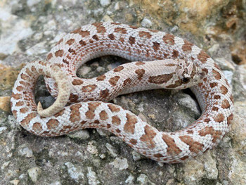 Frosted Western Hognose for sale