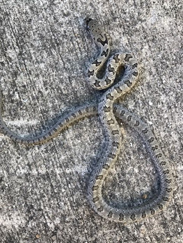 Bairds Rat Snake for sale