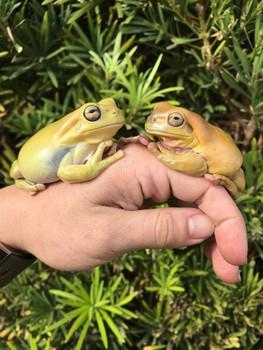 Yellow Whites Tree Frog aka Dumpy Frog