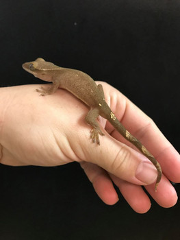 Sarasinorum Gecko for sale