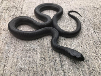 Mexican Black King Snake for sale