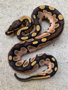 Bubble Gum Calico Ball Python for sale