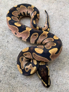 Calico Ball Python for sale