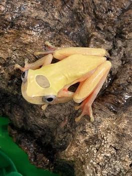 Dendropsophus reticulatus