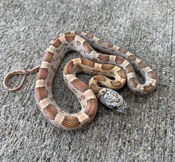 Honey Motley Corn Snake  for sale