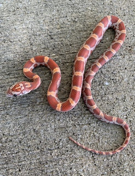 Sunkiss Dilute het Anery Corn Snakes for sale