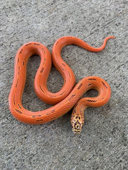 Ultra Mosaic Florida King Snake for sale