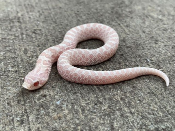 Snow Hognose for sale