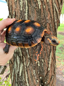 """4-6"""" Red Foot Tortoises for sale"""