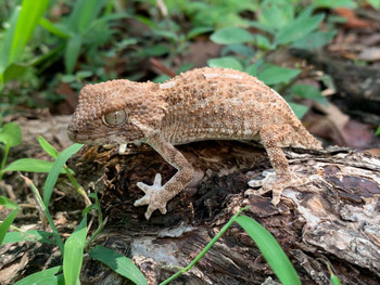 Helmet Geckos for sale