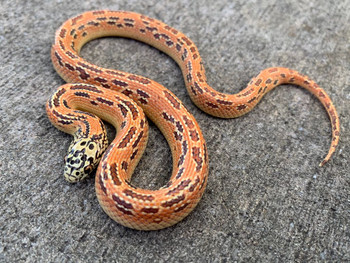 HYPO Ultra Mosaic Florida King Snake for sale