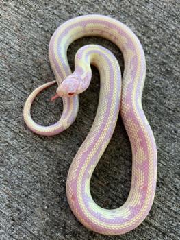 Albino Banana Cal King snake for sale