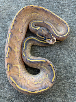 Highway Ball Python for sale (Python regius)male only