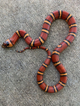 Thayeri King Snake for sale