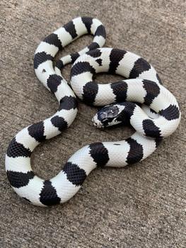 California King Snake for sale | Snakes at Sunset