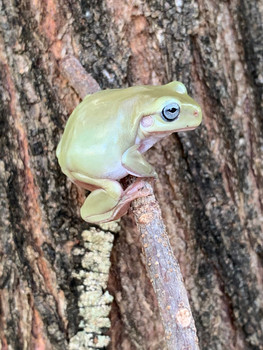 Unusual Blue Eye Whites Tree Frog (Blue Eye Dumpy) for sale