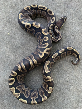 GHI Ball Python for sale | Snakes at Sunset
