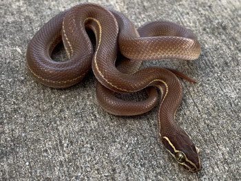 Brown House Snake for sale