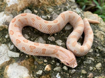 Toffee Glow Anaconda Western Hog Nose for sale