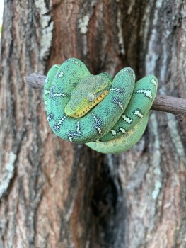 Baby Emerald Tree Boas for sale | Snakes at Sunset