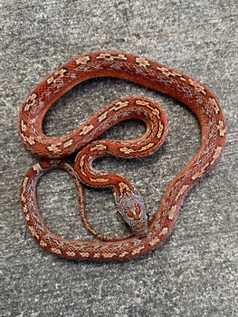 Blood Red Tessera Corn Snake for sale | Snakes at Sunset