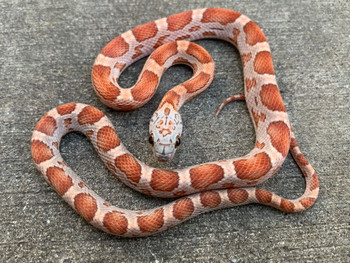 Sunkissed Motley Corn Snake for sale | Snakes at Sunset
