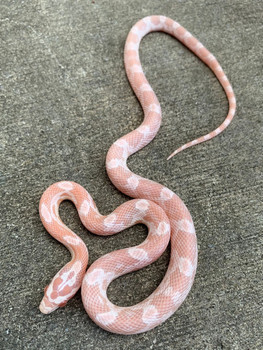 Strawberry Snow Corn Snakes for sale