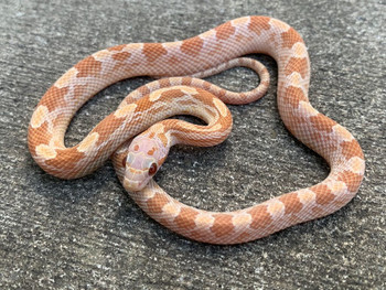 Topaz Blood Red Corn Snake for sale | Snakes at Sunset
