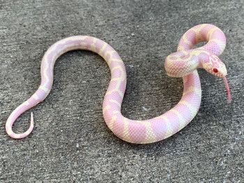 Albino Abberant  California King Snake for sale  | Snakes at Sunset