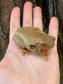 Suriname Milk Frog