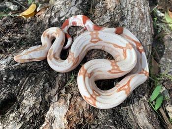 Albino Suriname Red Tail Boa