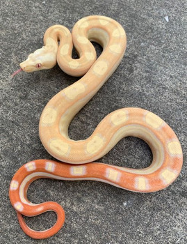 Albino Motley Boa Constrictor for sale