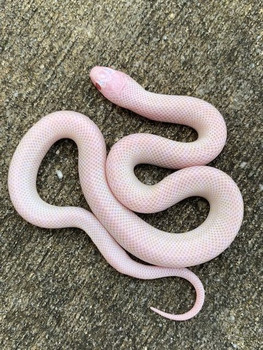 Blizzard Desert King Snake for sale