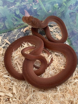 Scrub Python (Morelia amethystine) for sale