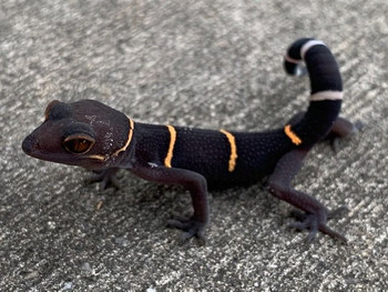 Chinese Cave Gecko for sale (Goniurosaurus hainanensis)