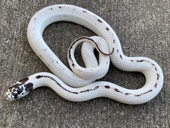 High White Reverse California Kingsnake For sale | Snakes at Sunset