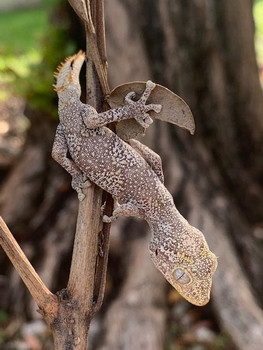 northern spiny-tailed gecko (Strophurus ciliaris) for sale