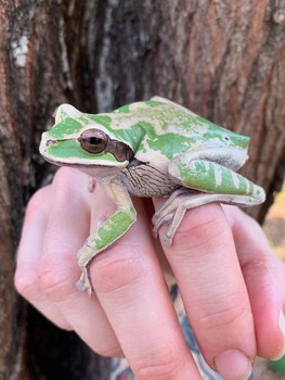 Masked Tree Frog for sale (Smilisca phaeota)