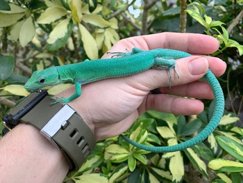 Gastrolophis prasinus - Green Keeled Lizards for sale