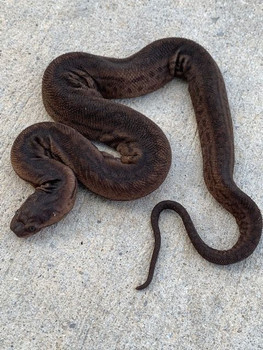 Elephant Trunk Snakes for Sale (Acrochordus javanicus)