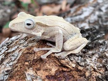 Borneo Eared Tree Frogs for sale (Polypedates otilophus)