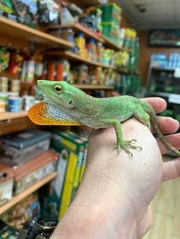 Neotropical Green Anole for sale
