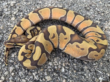 Enchi Ghost Ball Python for sale