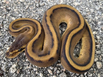 Genetic Stripe Ball Python for sale