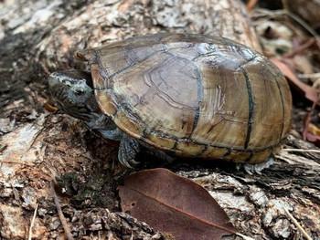 Eastern Mud Turtles for sale