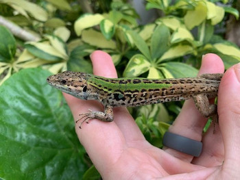 Italian Wall Lizards Podarcis sicula for sale