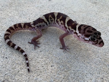 Central American Banded Geckos for sale