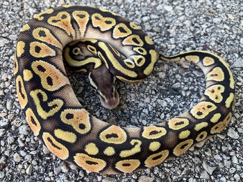 Mocha Pastel Ball Python for sale | Snakes at Sunset