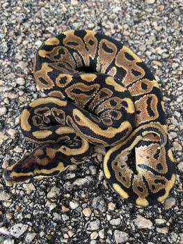 Spot Nose Ball Python for sale | Snakes at Sunset