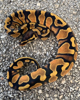Orange Dream Ball Python for sale | Snakes at Sunset